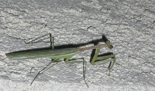 Deadly Mantis Outside Our Home